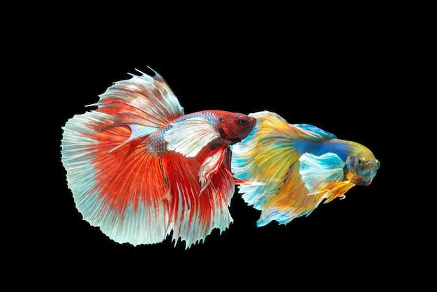 Mouvement des poissons betta sur fond noir