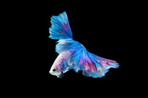 Mouvement de poissons betta, poissons de combat siamois, betta splendens isolé sur fond noir