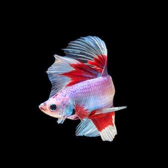 Mouvement de poissons betta, poissons de combat siamois, betta splendens isolé
