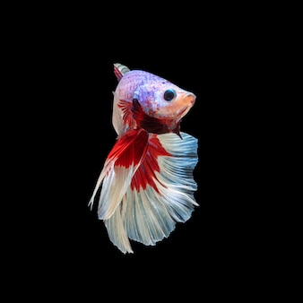 Mouvement de poissons betta, poissons de combat siamois, betta splendens isolé