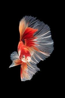 Mouvement de poissons betta, poissons de combat siamois, betta splendens
