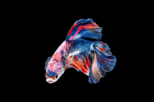 Mouvement de poissons betta, poissons de combat siamois