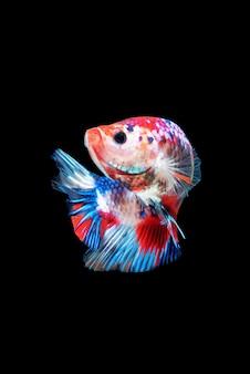 Mouvement de poissons betta, poissons de combat siamois