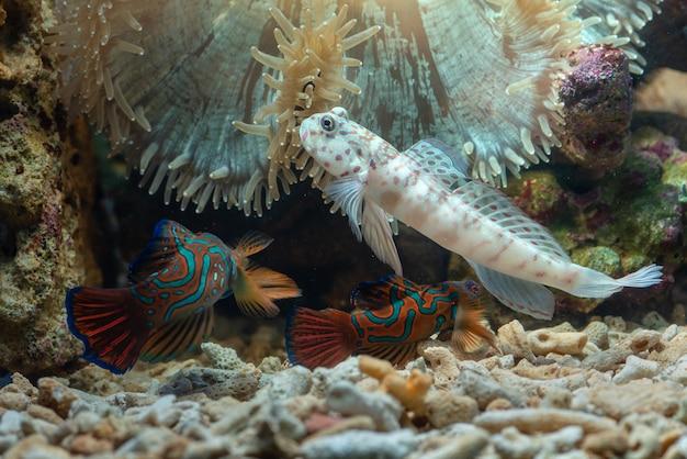 Mudskipper poisson dans la mer