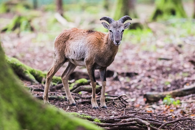 Muflon mâle dans la forêt