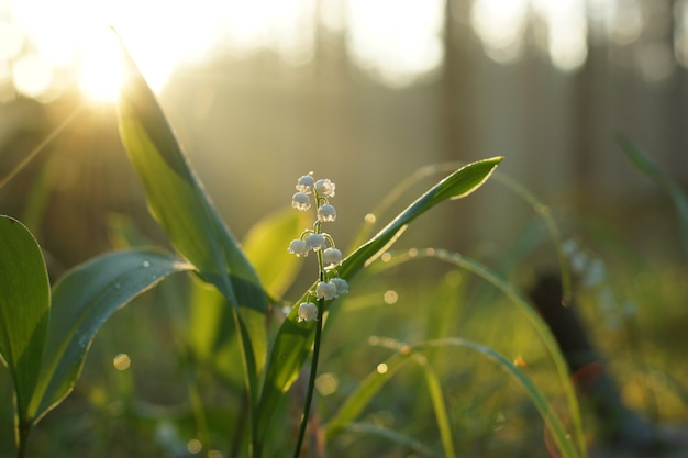 Muguet fleurit dans l'herbe à l'aube au milieu de la forêt.
