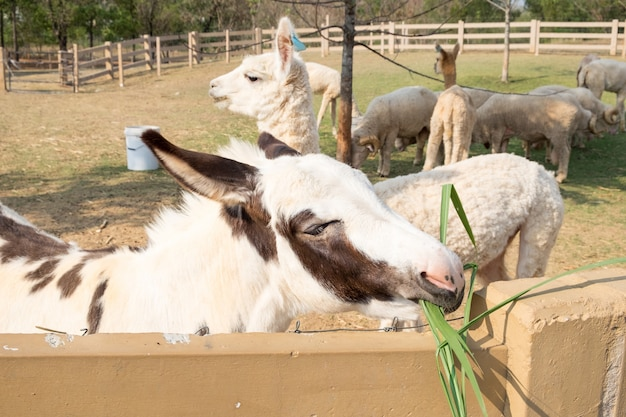 Mule blanc brun mignon mange l'herbe