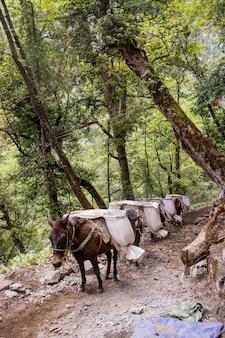 Mule transportant de lourds sacs de sable