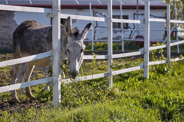 Mulet ou âne gris derrière les barreaux de l'enclos dans lequel il est enfermé dans une ferme en plein air