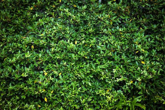 Mur d'arbustes