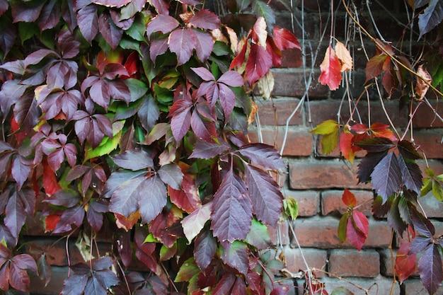 Mur de briques avec des feuilles d'automne de raisin sauvage colorées en vert jaune et rouge