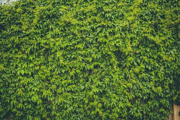 Le mur couvert de feuilles vertes