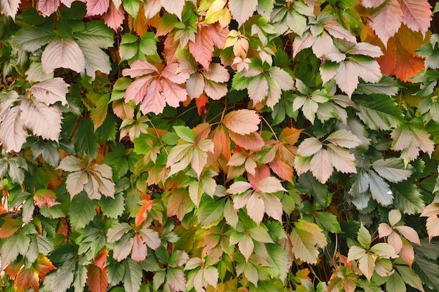 Mur couvert par les feuilles de vigne sauvages feuillage de couleurs d'automne fond naturel de plante grimpante