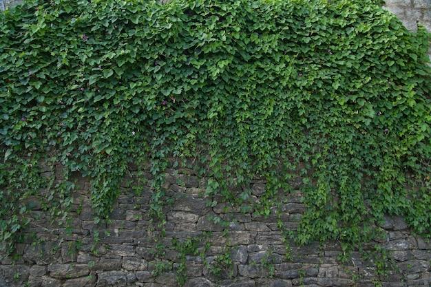 Mur d'été avec plante grimpante verte