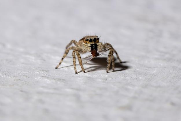 Mur gris araignée sauteuse de l'espèce menemerus bivittatus