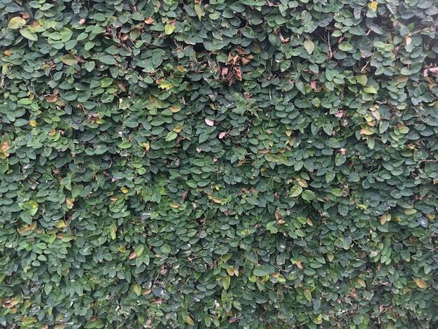 Mur d'herbe verte sombre