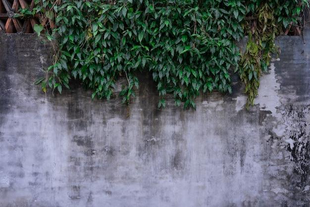 Mur de lierre vert