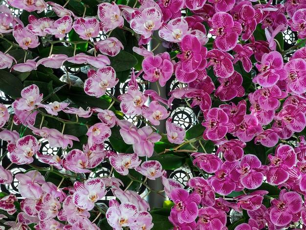 Mur d'orchidée rose frais.