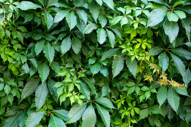 Mur de plantes vertes. fond naturel de plantes tropicales, texture et motif de la jungle