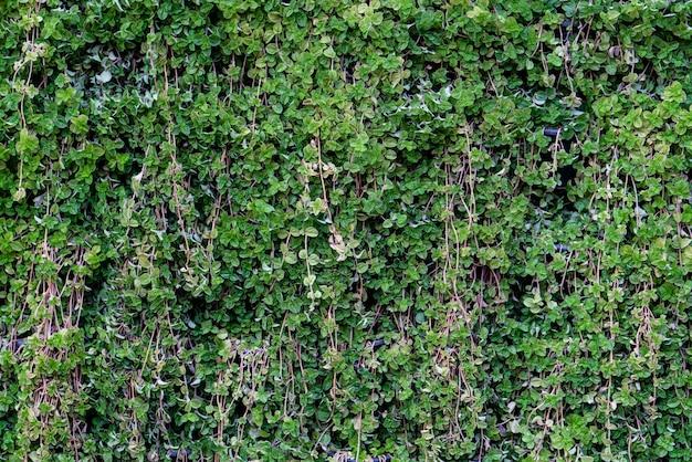 Mur végétal abstrait, plante grimpante