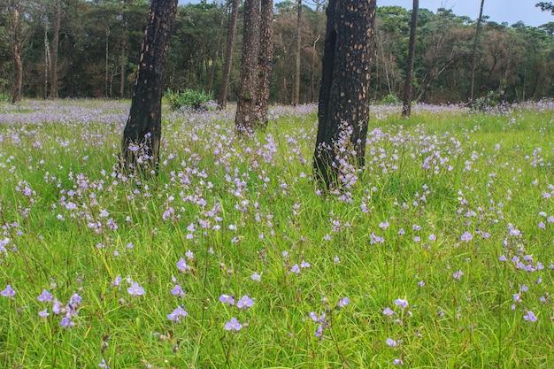 Murdannia giganteum, fleur pourpre thaï et forêt de pin