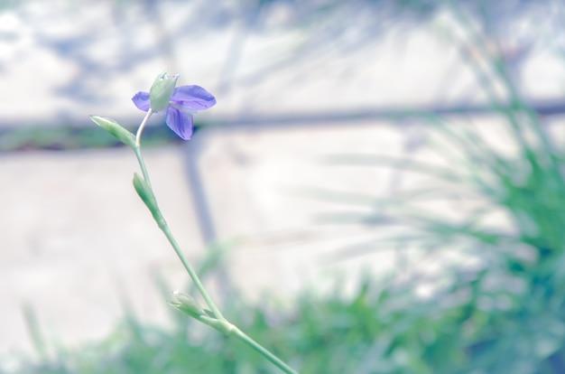 Murdannia giganteum sur fond flou.