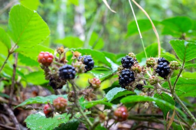Mûres mûres sur un buisson dans la forêt.