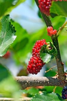 Mûrier noir couvert de fruits
