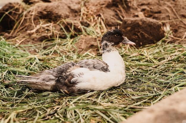 Musc ou canard indo dans une ferme dans un poulailler. l'élevage de volailles dans l'élevage domestique à petite échelle. caneton naissant grandi dans un poulailler
