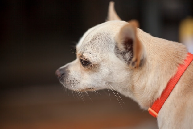 Museau de chien chihuahua regardant vers l'avant