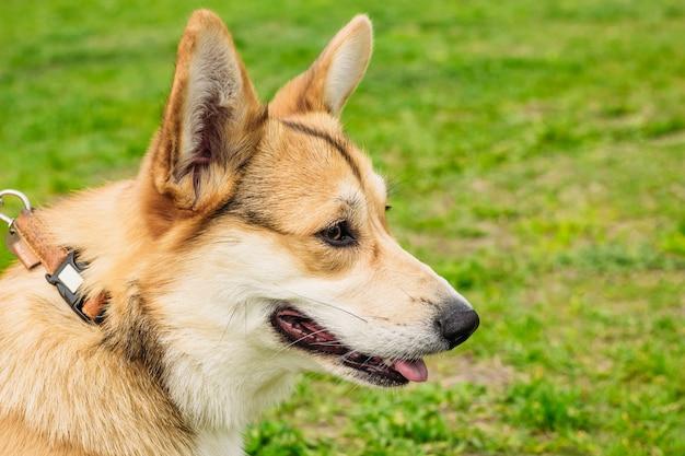 Museau close-up de couleur rouge pour chien corgi