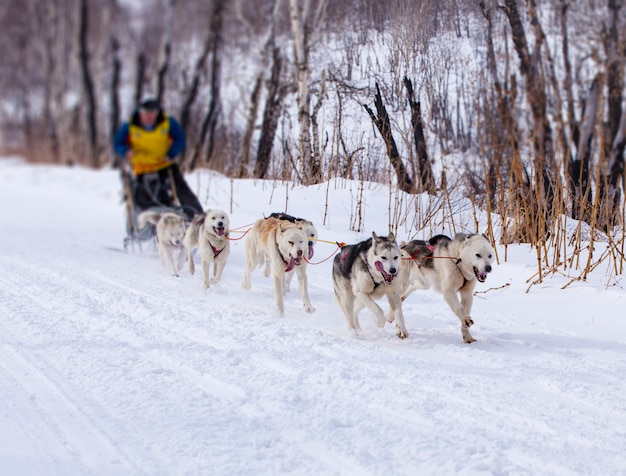 Musher se cachant derrière un traîneau à une course de chiens de traîneau sur la neige en hiver