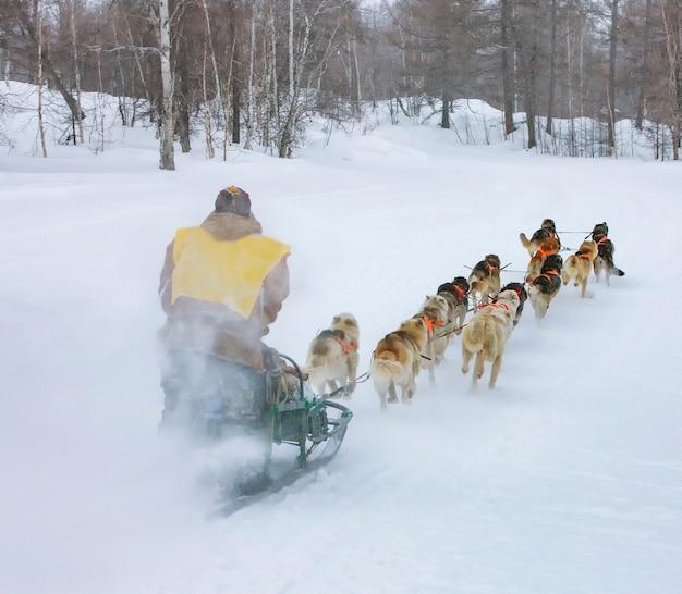 Musher se cachant derrière un traîneau lors d'une course de chiens de traineau sur la neige en hiver