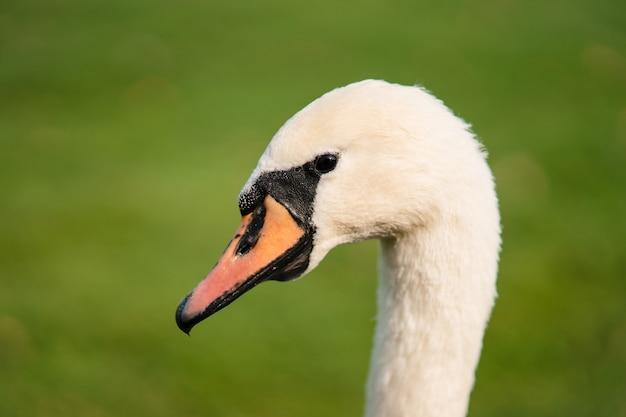 Mute swan, cygnus olor, adulte, gros plan. beau cygne blanc.