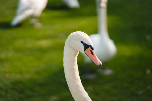 Mute swan, cygnus olor, adulte, gros plan