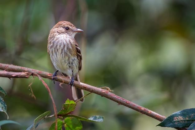 Myiophobus fasciatus / moucherolle de couleur de la marque. oiseau chanteur tinny dans l'habitat naturel. moucherolle perché dans la forêt, observation des oiseaux en amérique du sud