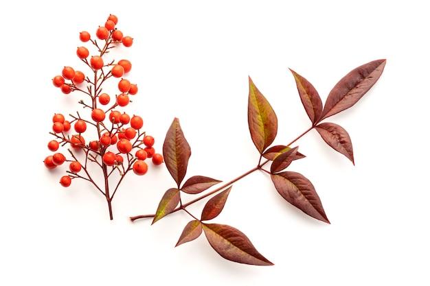 Nandina domestica isolée. bambou céleste avec de belles baies rouges et des feuilles. vue de dessus