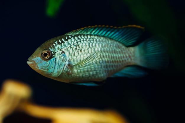 Nannacara. poisson bleu
