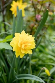 Narcisse, ducat doré dans le jardin. narcisse doré ducat, double jonquille.
