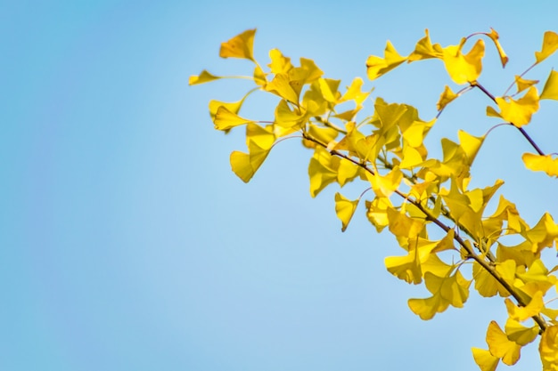 Nature couleur parcland gingko forest