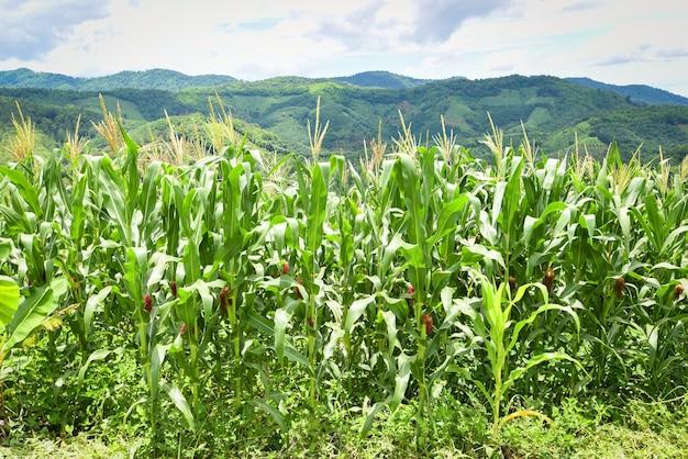 Nature du beau champ de maïs du matin sur la montagne