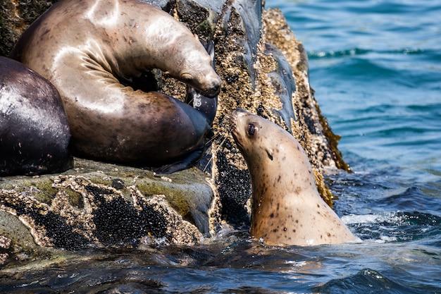 Nature du kamchatka: colonie lion de mer de steller ou lion de mer du nord (eumetopias jubatus).