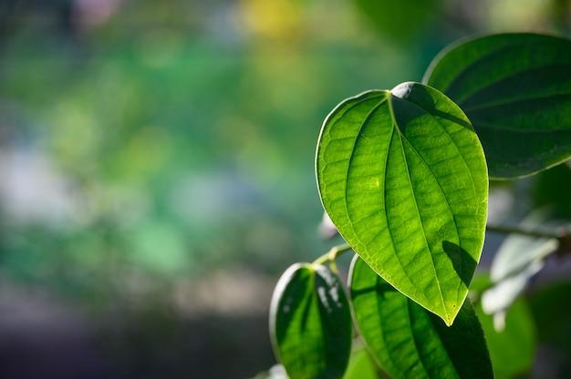 Nature de la feuille verte avec bokeh, feuille tropicale.