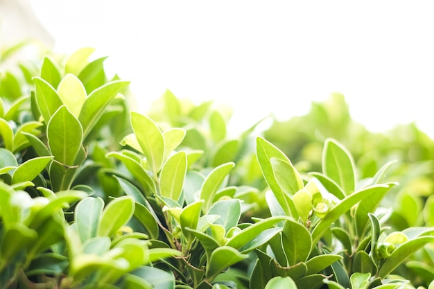 Nature de la feuille verte pour le fond naturel ou de l'environnement ou de la texture.