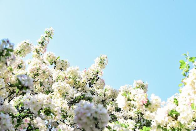 Nature fleurie de printemps. chaude journée d'été. beauté de saison. fleur de pommier. abricot rose en fleurs. traitement de spa. arôme de parfum féminin. sakura japonais. fond floral de fleur de cerisier blanc.