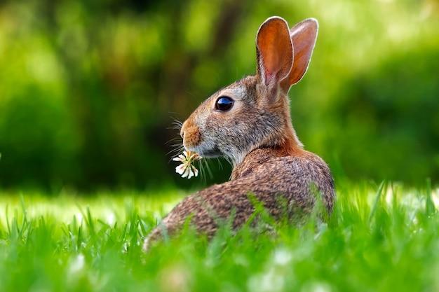 Nature de lapin