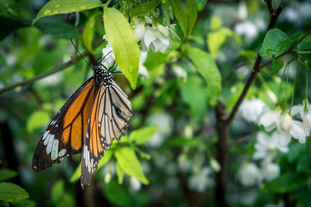 Nature lumière papillon goutte sur la fleur, fleur blanche avec papillon blanc, papillon noir