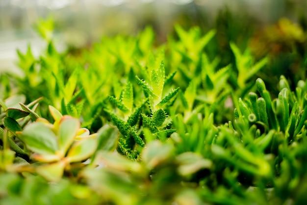 Nature des succulentes rosettes echeveria. plantes succulentes décoration de la chambre moderne.