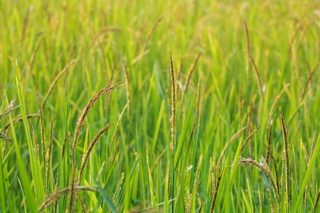 Nature verte close up de rizières dans les rizières en terrasses de thaïlande