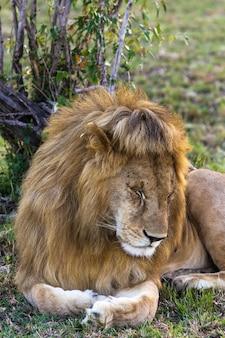 Ne vous réveillez pas au lion lion endormi roi des bêtes